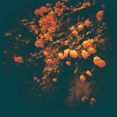 Roses shot with Diana+ Dreamer and redscale film