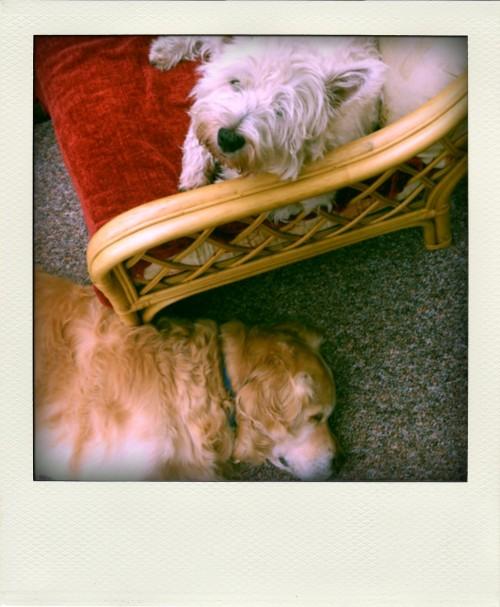 Our pet Westie and Golden Retriever